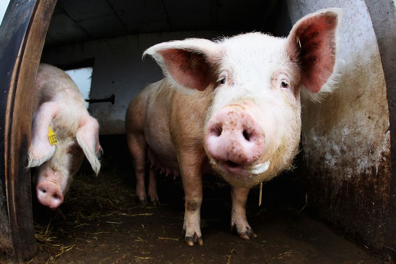 """Swine Flu – The Sequel"" – the next 'pandemic'?"
